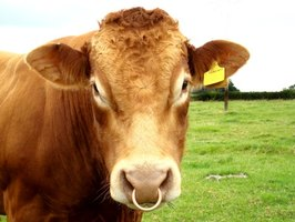 The shape of a bull's nose, very flat across the front, gives bullnose corner moldings their name.