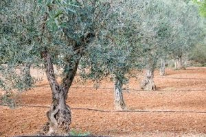 Olive trees have a slow growth rate.