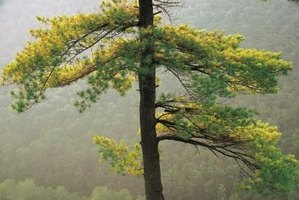 The larch turns golden yellow in fall before the plant loses its needles.