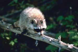 Raccoons are excellent climbers, which makes keeping them off fences a challenge.