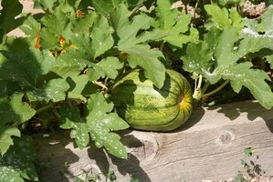 Pumpkins grow on vines as long as 12 feet.