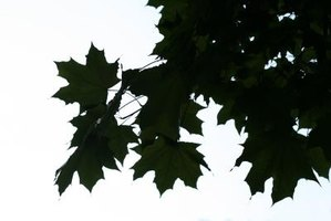 Pest-related damage causes defoliation in trees.