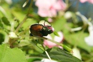 Japanese beetles are voracious and destructive insects.