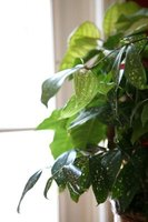 Many popular houseplants are tropicals that cannot survive a cold winter outdoors.