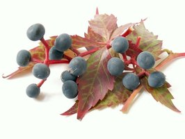 Only a few vines grow blue berries and red autumn leaves, which makes them all the more noticeable.