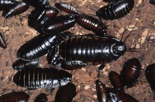 Kill cockroaches with boric acid.