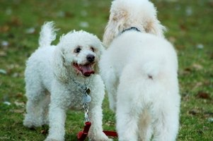 White dogs commonly get stains around their eyes.