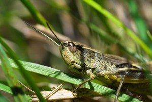 Grasshoppers are found in the rain forest.