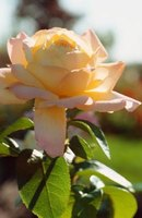 Keep your rose garden healthy by regularly inspecting your plants.
