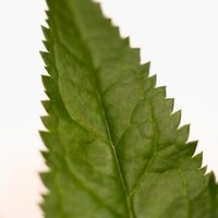 Stinging nettle is referred to as itch weed, bichu, common nettle and nettle leaf.