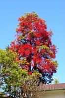 Flame tree bursts into flower in spring and provides striking color until late summer.