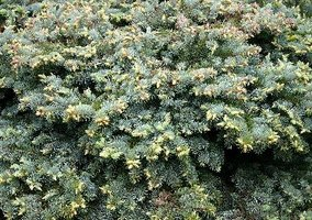 Junipers are one of the best options for creating a hedge in Texas.