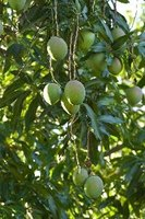 Experts estimate that 500 to 1,000 mango tree varieties exist worldwide.