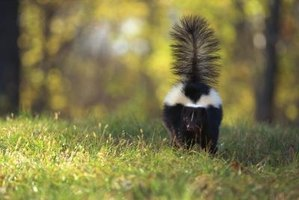 Chasing a skunk off your property doesn't have to end badly.