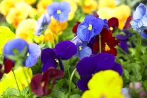 Pansies thrive with regular watering.