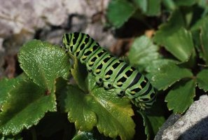 Caterpillars eat constantly, and as they grow, they may shed their skin several times.