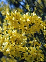 Forsythia is among the few shrubs to flower in winter.