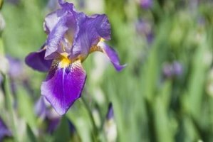 Keep grass out so your irises can thrive.