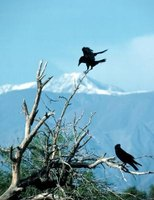 Crows are smart and can be difficult to get scare away.