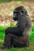 African lowland gorillas are just one of the many animals inhabiting the African rain forest.