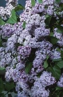 Common lilacs grow to 15 feet tall.