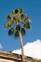 A healthy palm tree