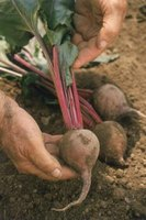 Proper fertilizer helps beets produce large, healthy roots.