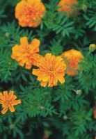 When purchasing marigolds, check to see that they are healthy and free of wilt damage.