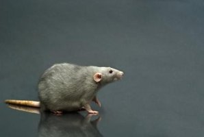 Dead rats or other rodents can carry disease and cause unpleasant odors.