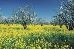 Spring apple blossoms can fall victim to late frosts.
