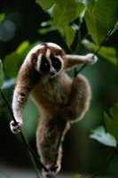The loris is a slow-moving primate.