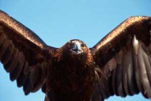 The golden eagle is found in western parts of North America.