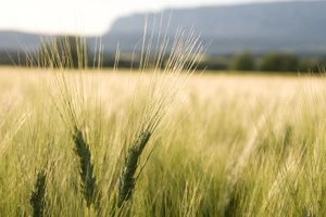 Before wheat becomes flour for bread, it starts out as a whole wheat berry.