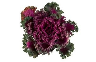 Purple is a popular color of ornamental cabbage.