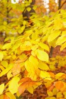 Beech leaves change to shades of yellow in autumn.