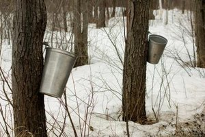 Sugaring off is when sap is collected over a six-week period in the spring.
