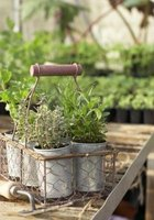 Pinching back herb plants often helps them grow bushier and more productively.
