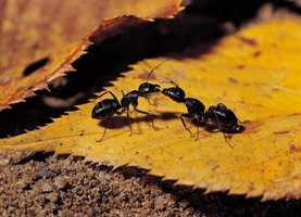 Carpenter ants often work together to find insects to eat.
