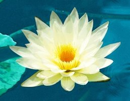Lotus flowers made from paper won't wilt like fresh lotuses.