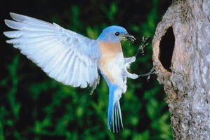 Bluebirds nest in tree crevices or enclosed birdhouses.