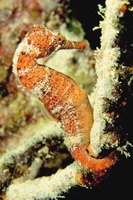 The seahorse only eats food that floats by because it is a weak swimmer.