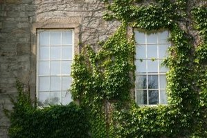Ivy is a climbing plant that attaches to buildings, trellises and support structures.