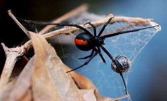 There are 31 species of widow spider in the world.