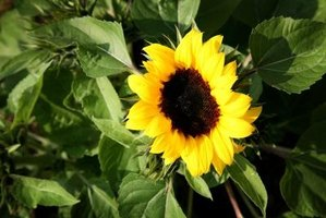 Sunflowers companions won't have to complete with the flowers for light and nutrients.