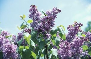 Lilac is one plant that will attract hummingbird moths.
