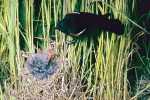 You might spot a male red-winged blackbird feeding its young.