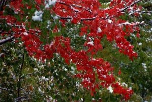 Japanese maples add red color to your landscape.