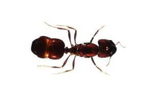 Ants may be red, black, brown or shades of yellow.