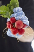 Radishes go quickly from germination to harvest.
