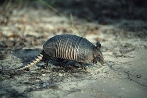 Armadillo meat has a taste similar to pork or beef.
